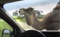 safari-kamel